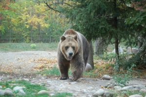 grizzly bear 0274 by stocklove