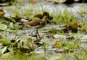Solitary Sandpiper by natureguy