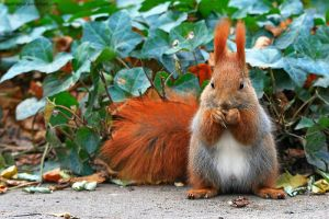 Squirrel On The Ivy by squirrelhollow