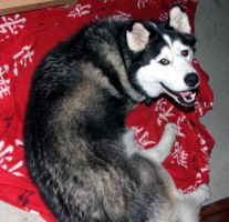 Indy the Malamute I rescued by Meadowknight