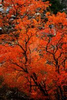 Orange Tree Fall Colors AF by houstonryan