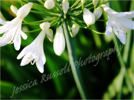 White Flowers Wallpaper by countessjade2525