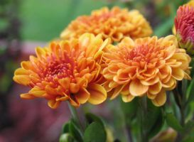 My-Stock - Mums by my-stock