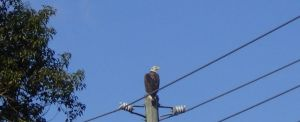 Eagle on a powerline by memorible