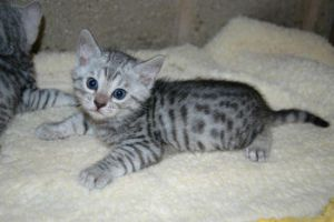 Silver Baby Bengal by spaceagejellyhead
