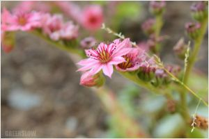 Little pink by GreenSlOw