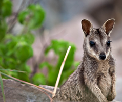le wallaby by troldemort