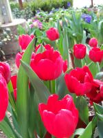 Red Tulips 2 by theNanna