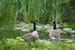 goose couple by marob0501