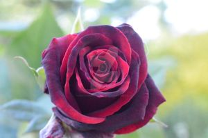 Beautiful Little Rose by KayleighBPhotography