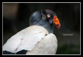 Portrait of a King Vulture by declaudi