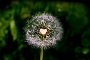 Dandelion with Heart... by MichiLauke