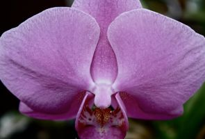 Another Orchid by bohemiandog