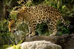 Jaguar 1 by RoyalImageryJax