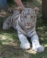 white tiger cub 2 by NikiljuiceStock