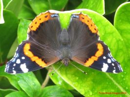 Red Admiral by Terrydunk