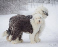 Old English sheepdog by mari-mi