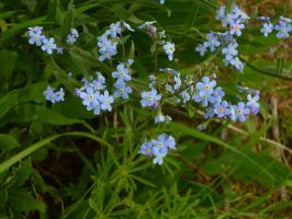 Small Blue Flower Stock 02 by Struck-Stock