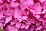 Fleurs Rose - Pink Flowers ACM by FROG-and-TOAD