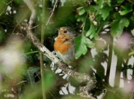 robin in the hedge by harrietbaxter