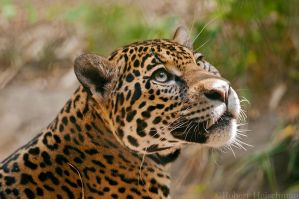 Jaguar Portrait 1061 by robbobert