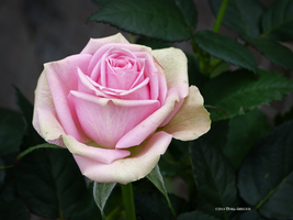 Perfect small rose by Mogrianne