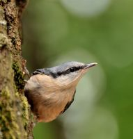 A nuthatch by corsuse