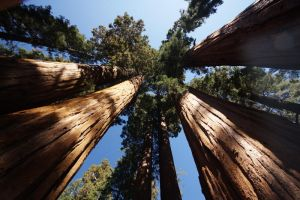 Sequoia national park 1 by uros2006