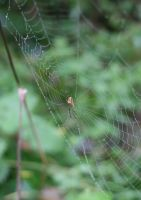 Itsy-Bitsy Spider... by Indiliel