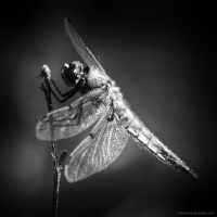 Dragonfly by antarialus