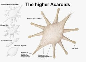 REP: The higher Acaroids by Ramul