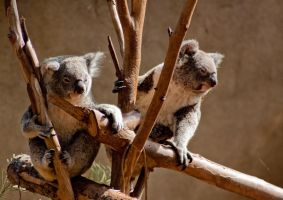 Koalas by kittykitty5150