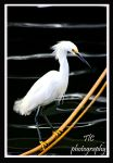 Proud snowy egret by TlCphotography730