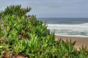 The Ubiquitous Ice Plant by PaulWeber