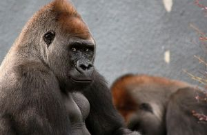 Zwalani, the lowland gorilla (Granby Zoo) by RinFlorin