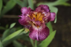 Iris by digitalpix4all