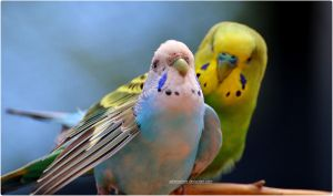 Budgie Lovers by SilkenWinds