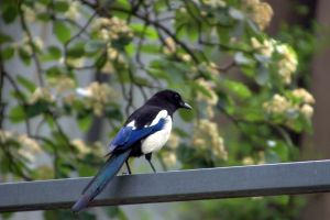 Magpie, really not so pied. by oskila