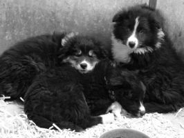 Border collie pups by huskyhowl