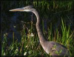 Great Blue Heron 20D0049028 by Cristian-M