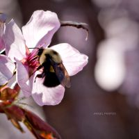Day 079 Bumble Bee by AangelPhotos