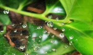 Spiderweb and Droplets--Holly by SpiderMilkshake