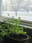 Herbs in winter by justamom