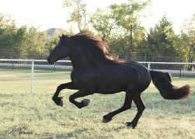 Friesian Stallion Liberty by Deirdre-T