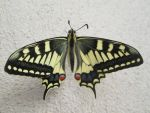 Papilio machaon 13 by FuriarossaAndMimma
