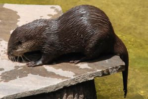 Aonyx cinerea : Asian small-clawed otter 049 by lumibear