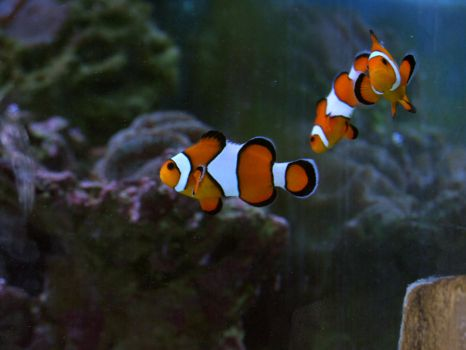Nemo is found by ventriculus
