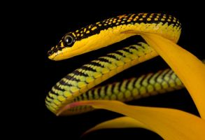 Flying Paradise snake macro by AngiWallace