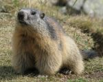 Marmot 64 - sweet young marmot by Momotte2stocks