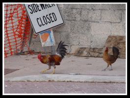 Why did the chickens cross... by blueye